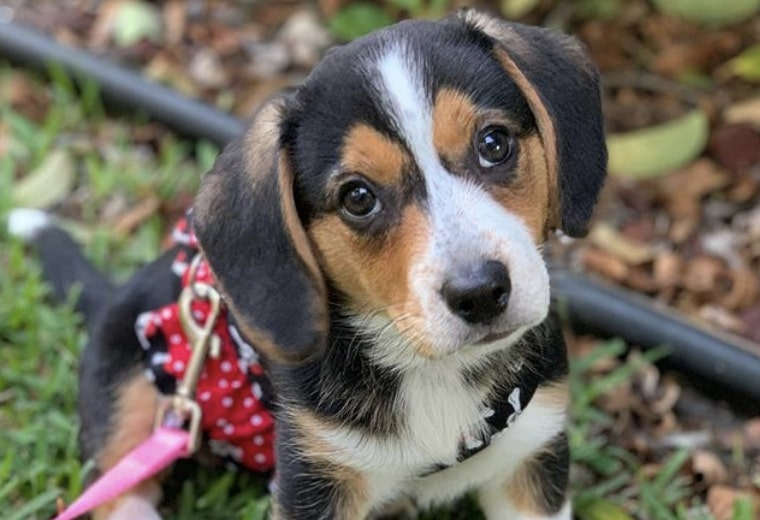Beagle Mixed Breeds