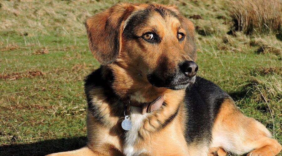 Beagle Mixed Breeds